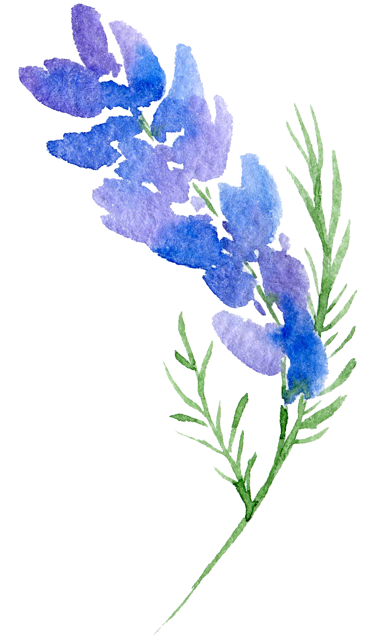 monkshood drawing blue