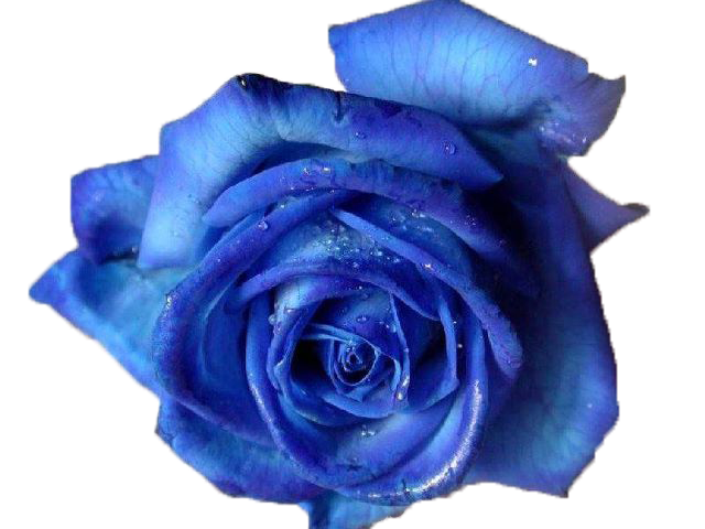 blue roses png