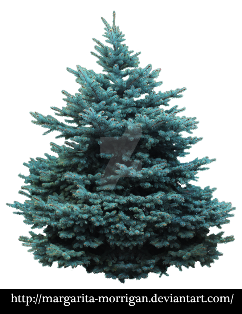 Blue spruce png. By margarita morrigan on