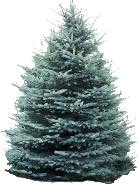 Blue spruce png. Christmas trees marldon at
