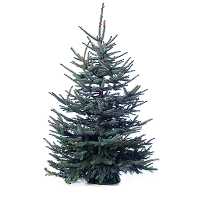 Blue spruce png. Christmas tree nursery anthonissen