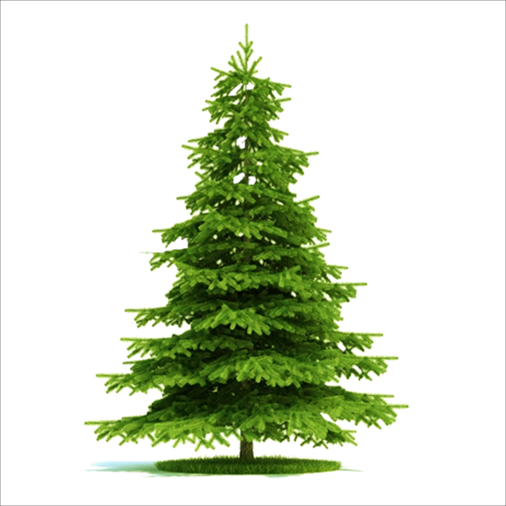 Picea asperata norway tree. Blue spruce png graphic black and white