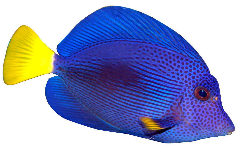 Blue tang png. Fish transparent image mart
