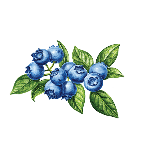Blueberry clipart huckleberry. Herbal true celestial seasonings