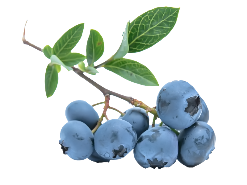 Blueberry clipart huckleberry. Blueberries png images free