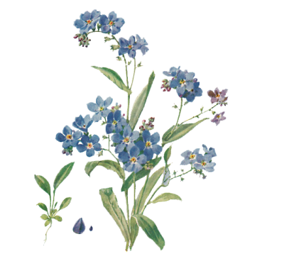 Bluebonnet vector texas. Download free png forget