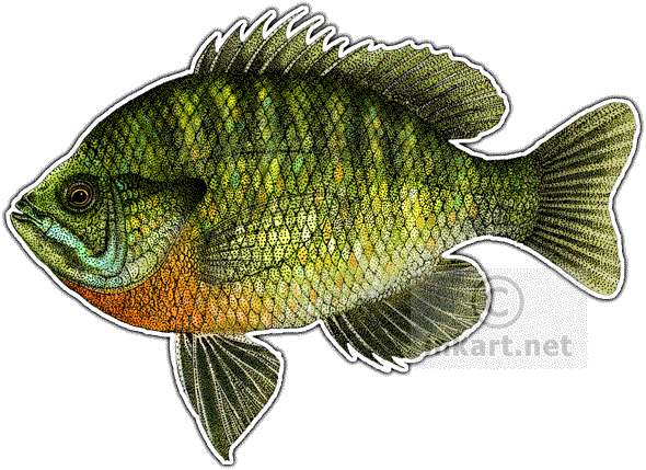 bluegill drawing ink