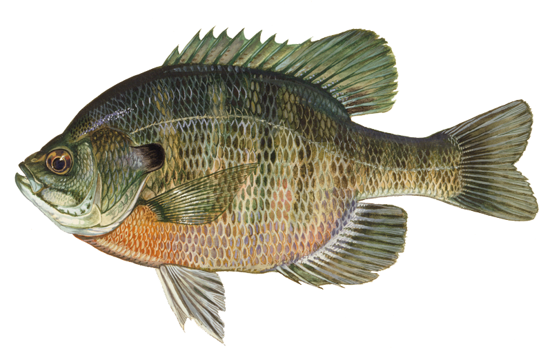 sunfish drawing crappie