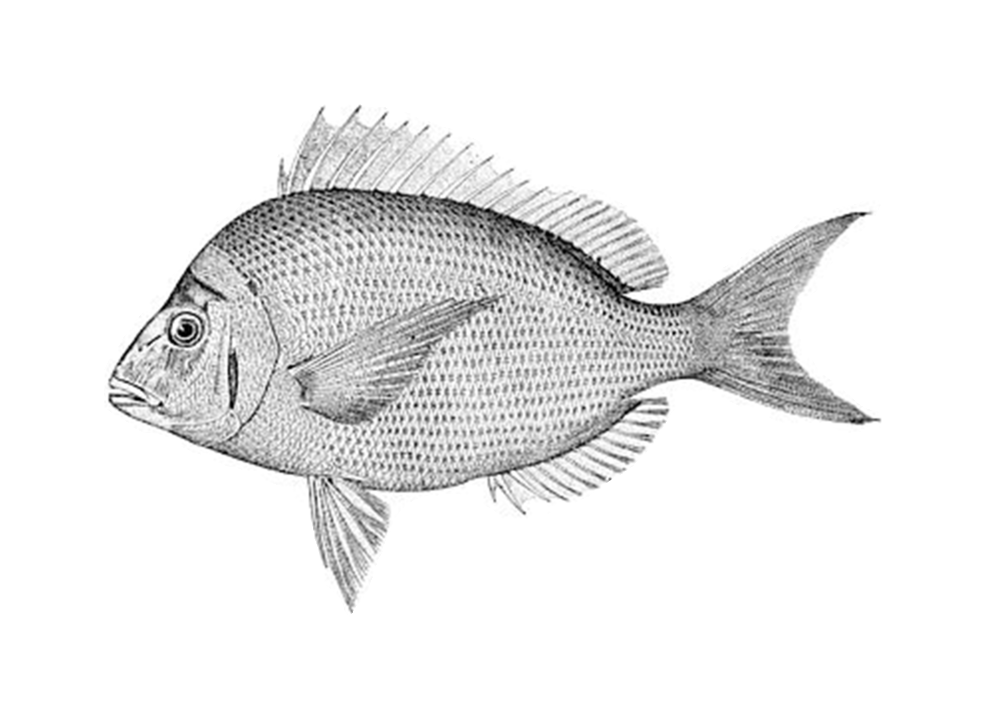Bluegill drawing bream fish. Eat like a eating