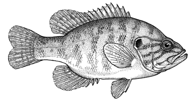 Sunfish drawing bass. All about fishing in