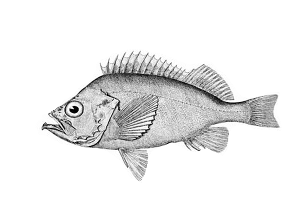 Bluegill drawing ocean fish. Eat like a eating