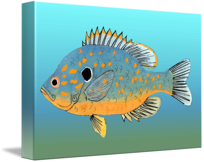 Bluegill drawing pen. Orange spotted sunfish by