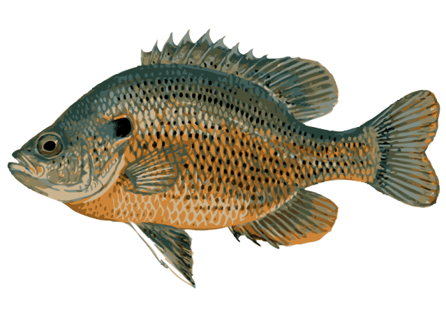 Sunfish drawing red. Great clip art of