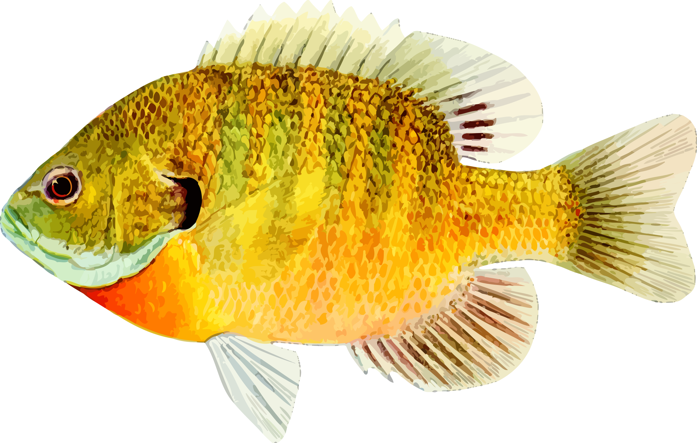 Bluegill drawing simple. Selected pictures of fish