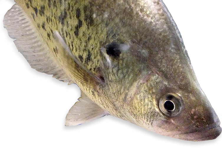 crappie vector walleye