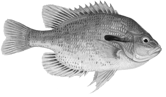 All about fishing in. Sunfish drawing bass hybrid svg freeuse