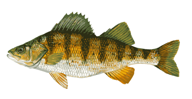 Bluegill drawing yellow. Great clip art of