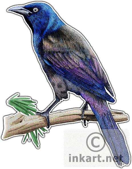 Bluejay drawing pen. Common grackle quiscalus quiscula