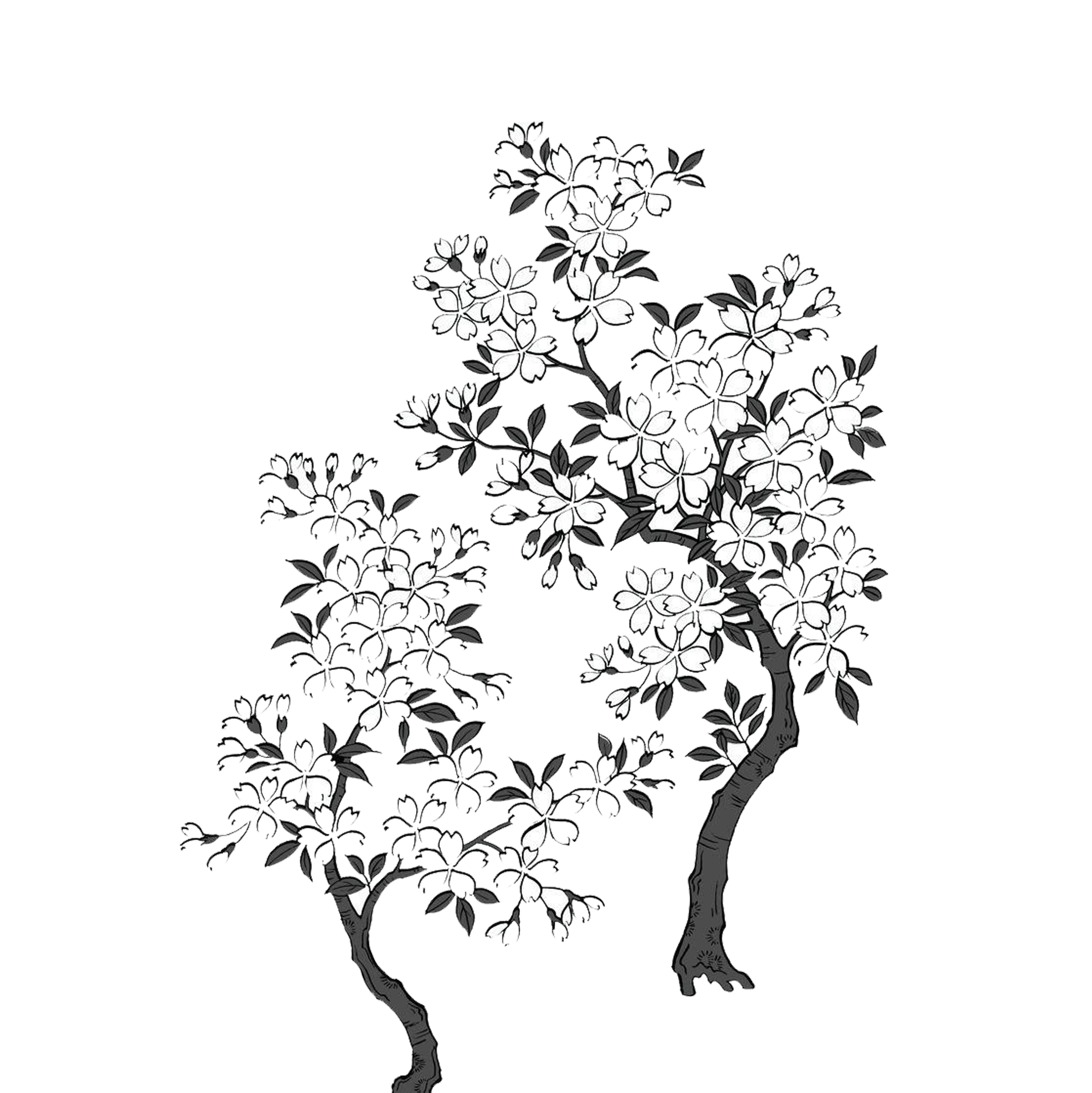 White drawing cherry tree. Black and blossom hand