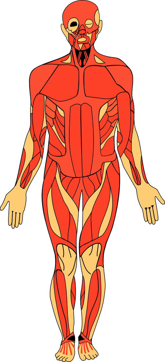 Body clipart illustration. Anatomy human free
