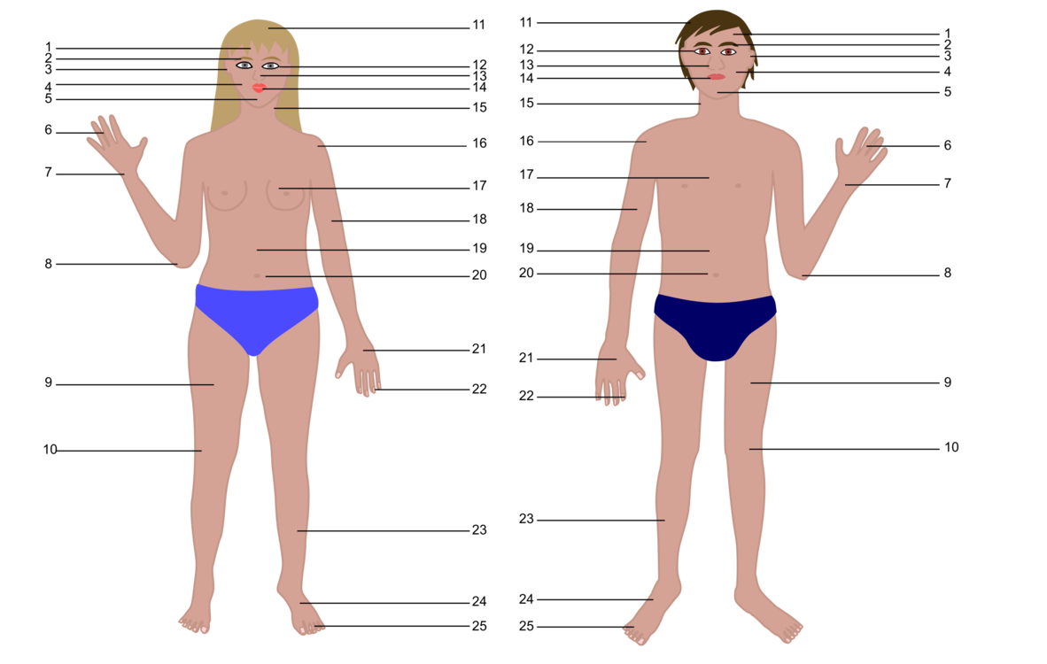 Body clipart whole body. All about the human