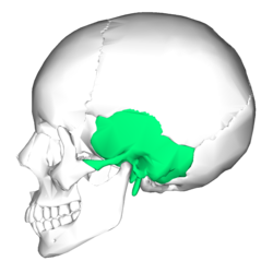 Transparent bone two. Temporal wikipedia lateralpng