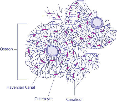 Bone cells png. Osteoblasts osteoclasts calcium and