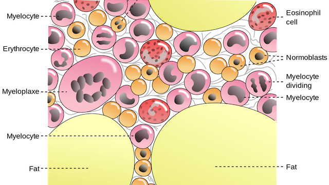 Bone cells png. A closeup illustration of