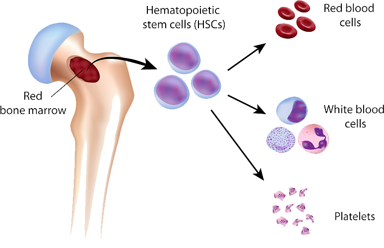 Bone cells png. What is marrow and