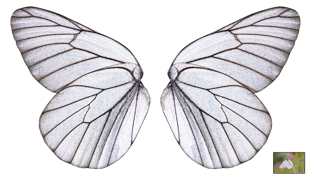 Butterfly wing png. Unrestricted white wings by