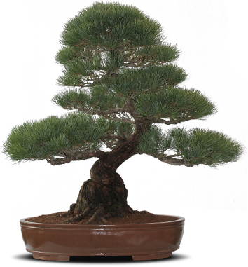 Bonsai tree png. North of england home
