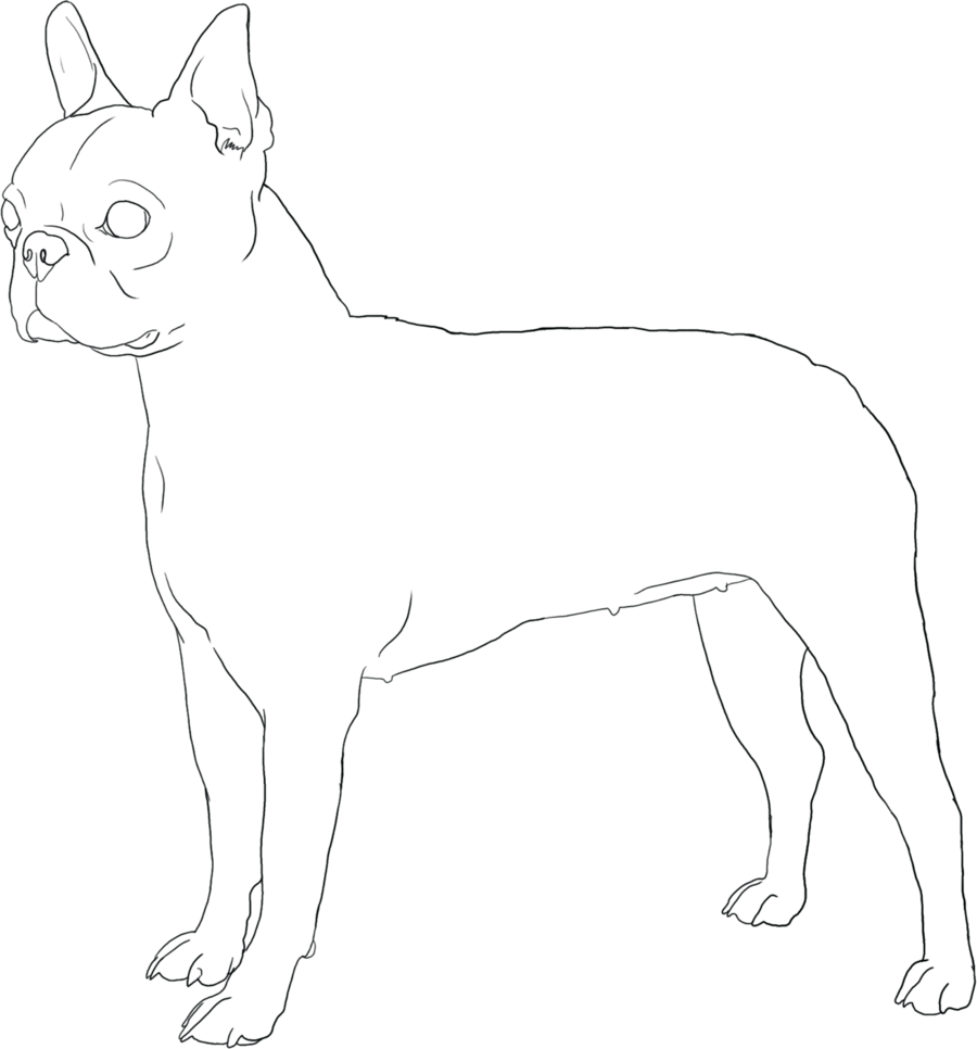 Boston drawing terrior. Terrier lineart by doggiedoodles