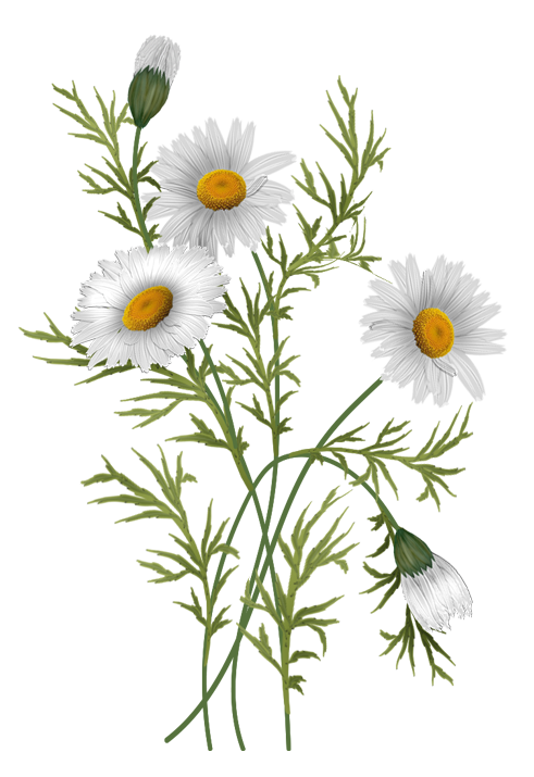 Botanical vector. Flowers daisies pinterest clip free stock