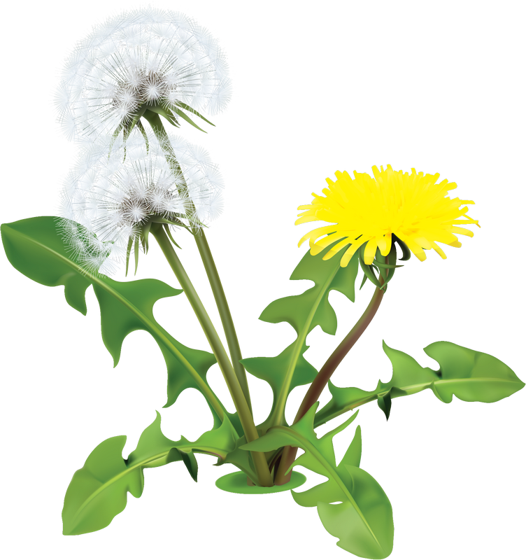 Drawing dandelion sow thistle. Pin by eva just