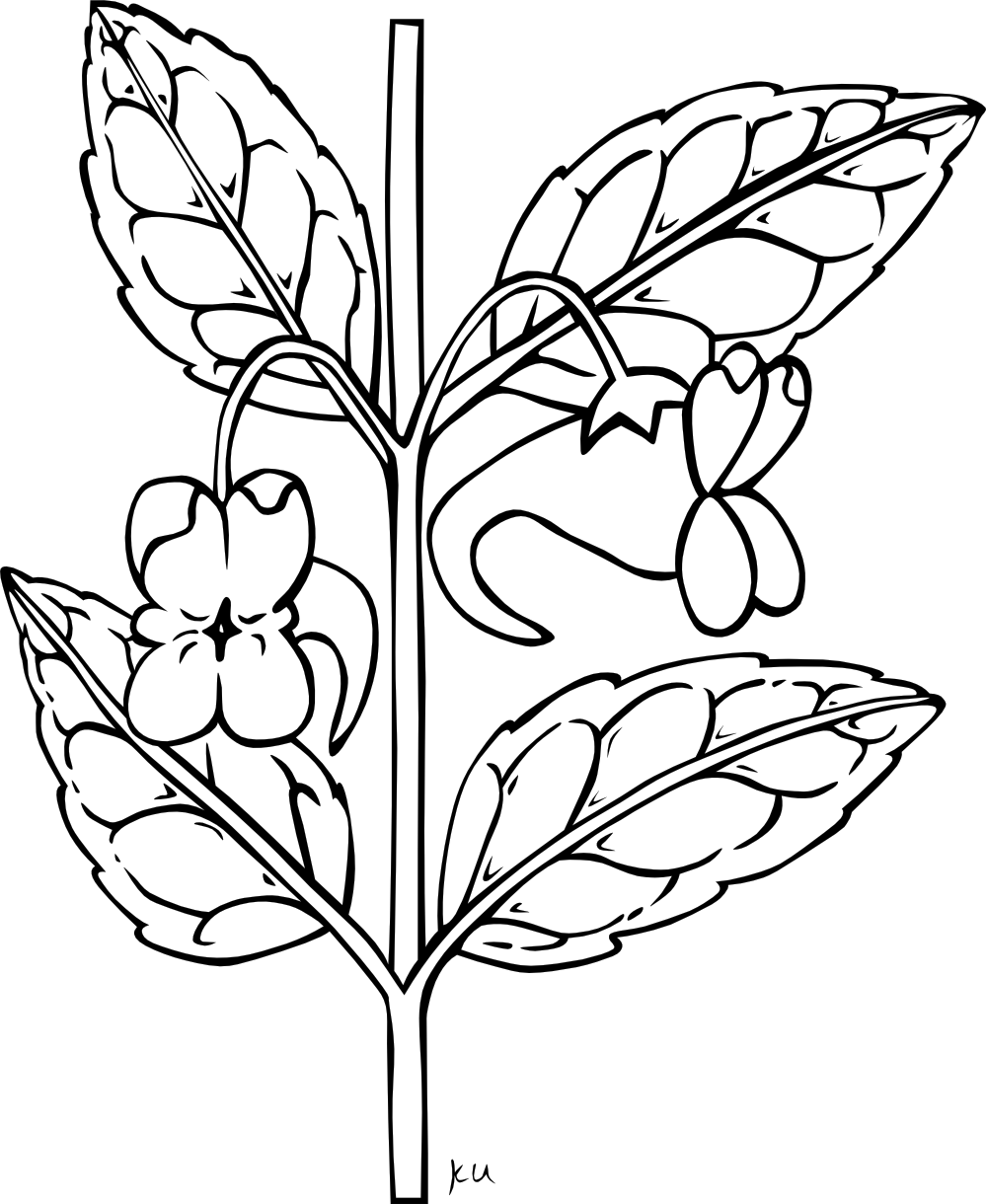 bougainvillea drawing colouring