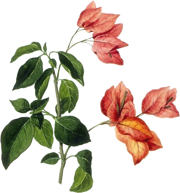 Bougainvillea drawing part. Download botanical illustration drawings