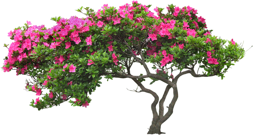 Bougainvillea drawing part. Download hd plant banner