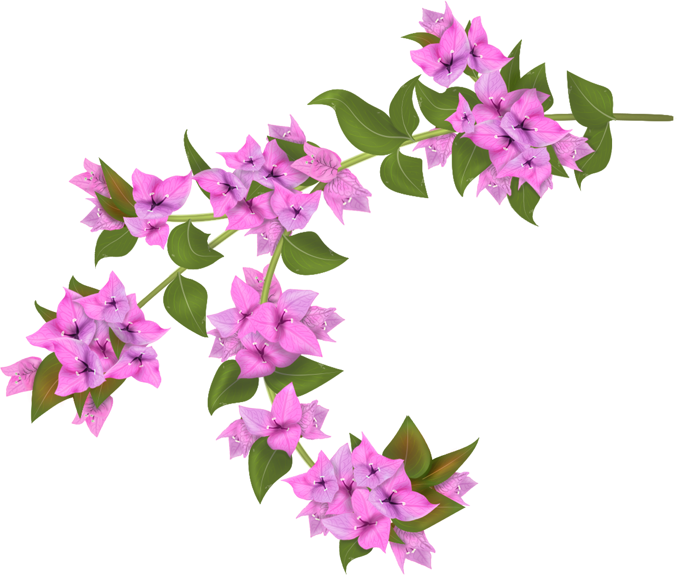 Bougainvillea drawing botanical illustration. Flowers painting illoustrator png