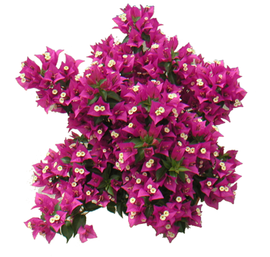 Bougainvillea drawing simple. Brushes png pinterest