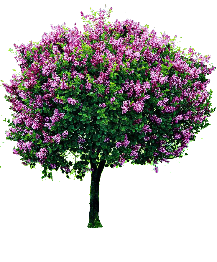 Bougainvillea drawing tree. Pin ni shishio sa