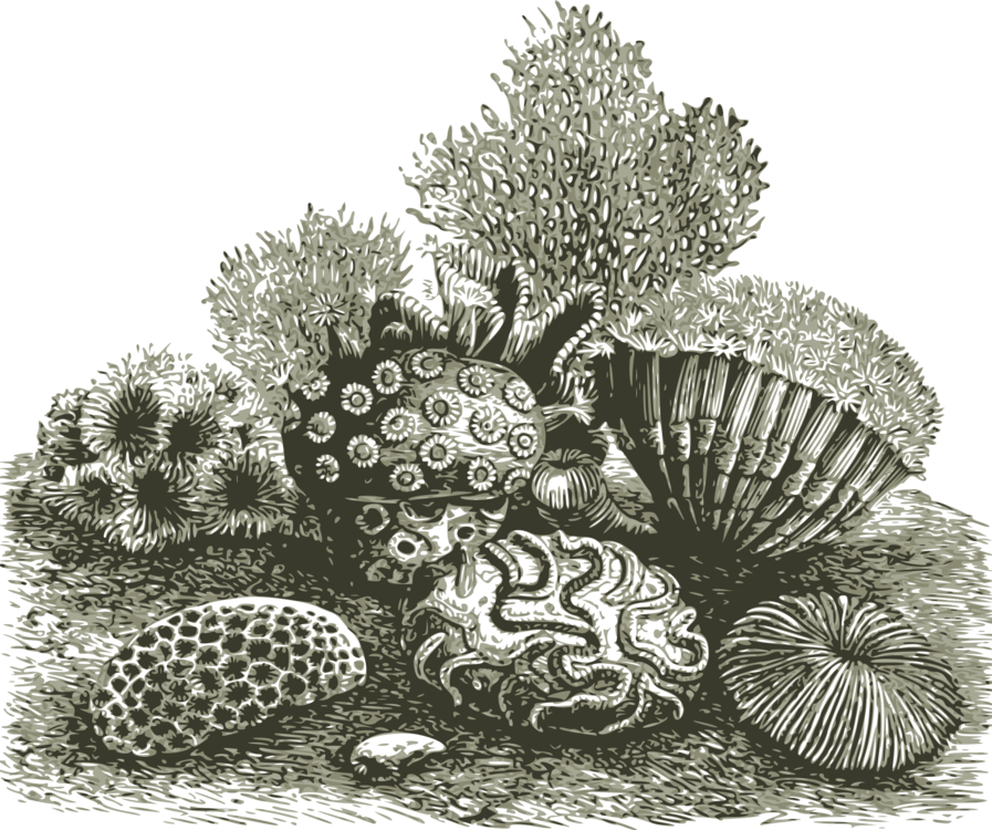 Boulder drawing coral reef. Marine invertebrates free commercial