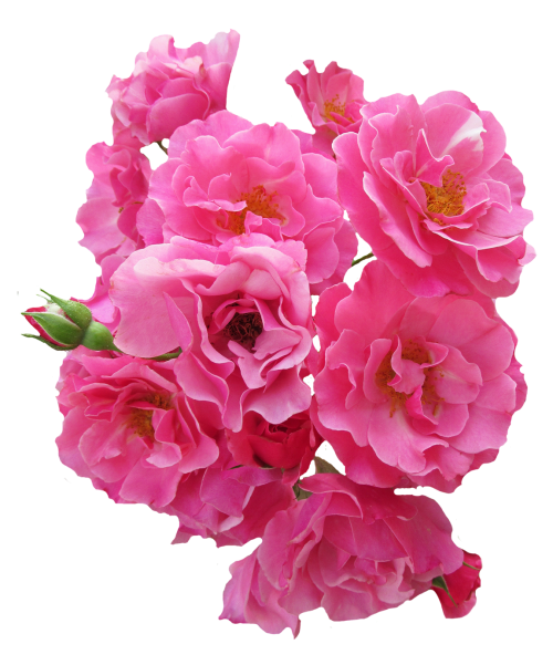 Pink flowers png. Bunch rose flower image