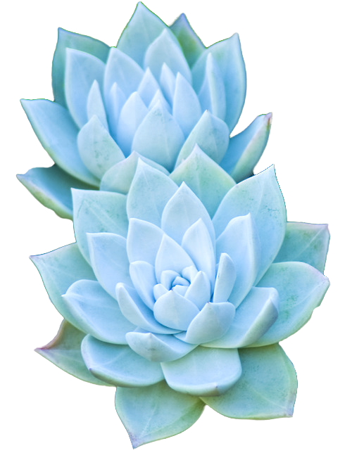 Bouquet of succulents png. Transparent flowers x scculent