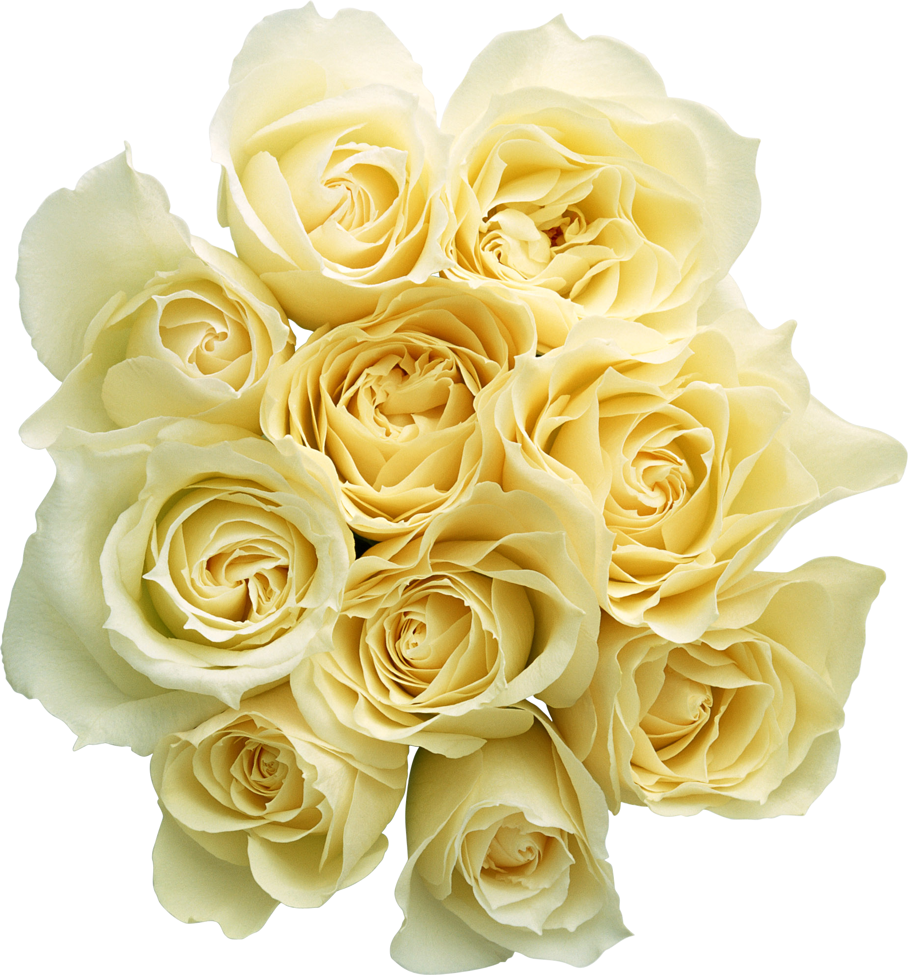 Flowers white png. Roses images free download