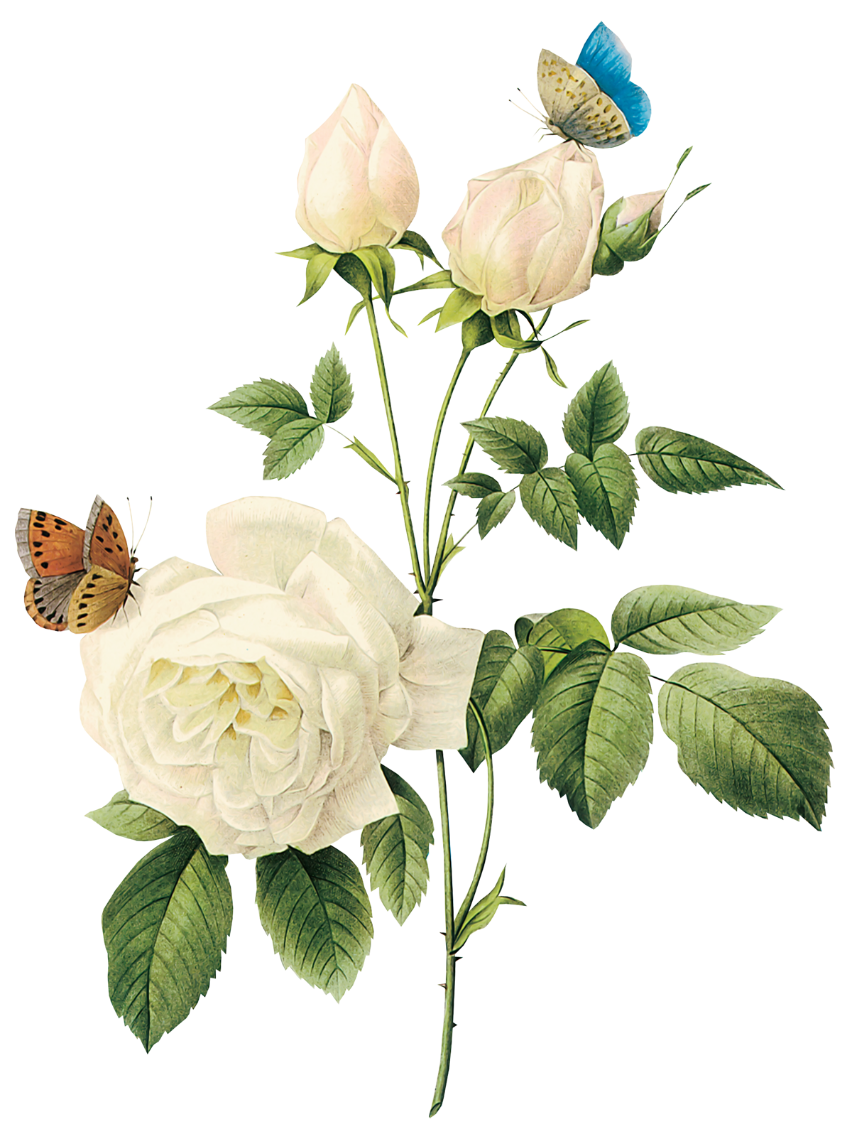 White flower png. Roses image purepng free