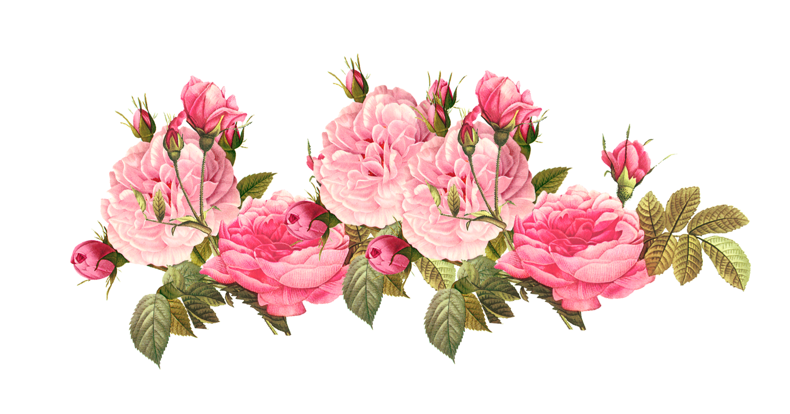 Bouquet vector vintage rose. Pink free borders roses