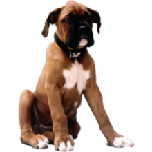 Boxer dog png. Animal image with transparent