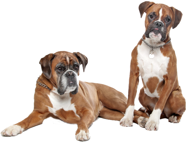 Boxer dog png. Energetic and funny pinterest