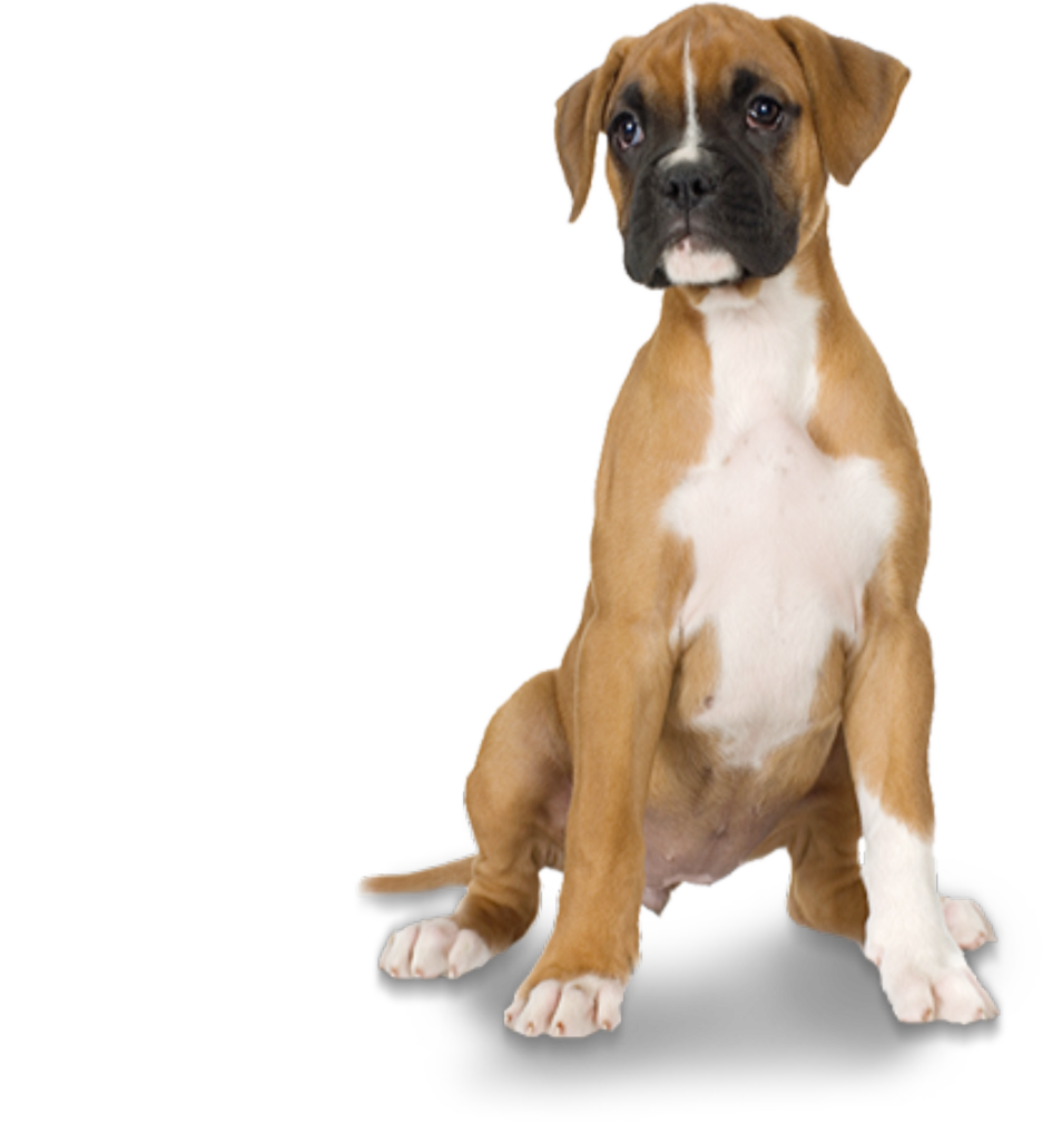 Boxer dog png. Medium dogs monthly subscription