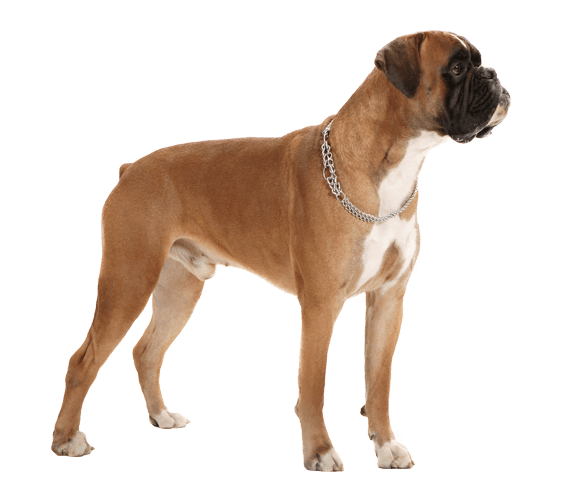 Boxer dog png. Breed caucasian shepherd valley